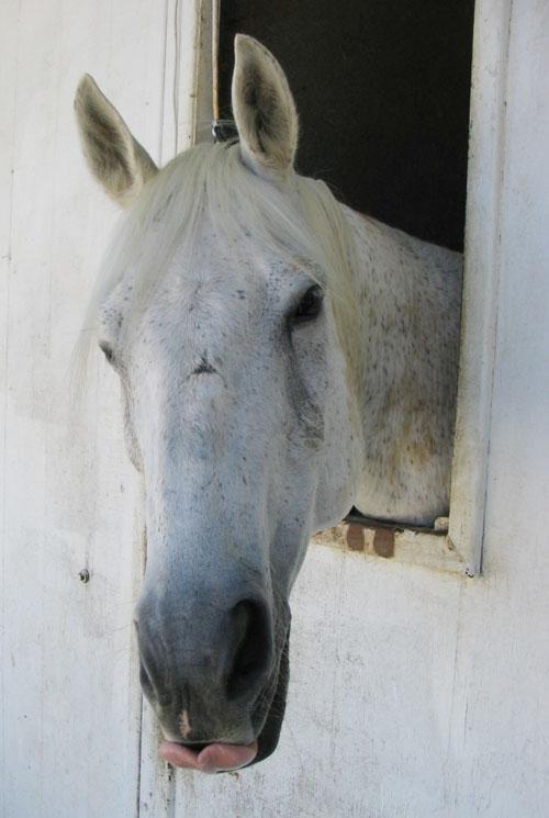 http://www.niceboots.org/~evergrey/horsestuff/Solomon0808/Tongue.jpg